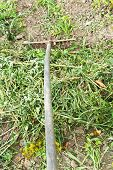 Collecting Mown Grass By Rake In Garden