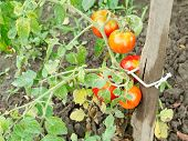 Several Red Tomato On Bush In Garden