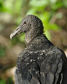 Portrait Of A (muddy) Black Vulture (Coragyps atratus brasiliensis).