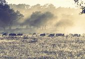 Sheeps in morning meadow