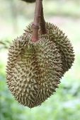 Fresh Durian On The Trees.