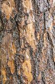 Bark Pine Tree.