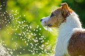 dog drinks water, spray
