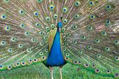 pic of female peacock  - A male peacock spreads its plumage to attract females in its vicinity - JPG