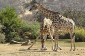 two giraffes in the savanna