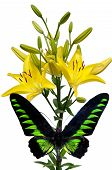 Green Butterfly And Yellow Lily