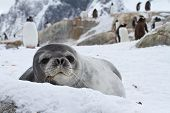 Weddell Seal Which Looks Out Over The Snowy Hills