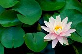 Pink Lotus Flower And Lily Pads