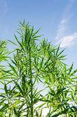 bush of marijuana under sunlight