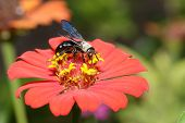 Zinnia Flower With Black Wasp