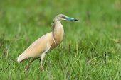 Squacco Heron (ardeola Ralloides) Walking Through A Sedge Filled Marsh