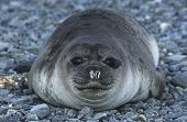 Antarctica, South Georgia Island, Weddell Seal on pebble beach, close up