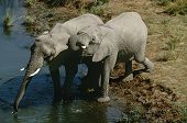Namibia, two African Bush Elephants drinking water from river, elevated view