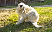 Golden Retriever Dog Scratching