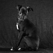 stock photo of greyhounds  - Italian greyhound puppy posing dark gray canvas background - JPG