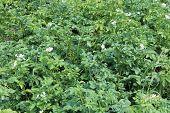 Kitchen Garden Of The Blossoming Potato