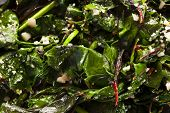 image of sauteed  - Homemade Healthy Sauteed Swiss Chard with Garlic and Cheese - JPG