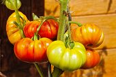Tomato Plant With Beefsteak Tomatoes In The Home Garden