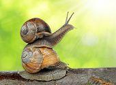 picture of hermaphrodite  - Garden snail  - JPG