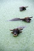 water buffalo in lake