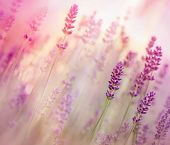 Beautiful lavender