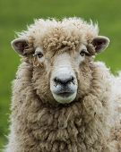 New Zealand Ewe Sheep