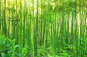 Natural Green Background With Reeds Of Bamboo.