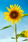 Sunflower (lat. Helianthus) with blue sky, Germany