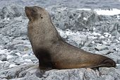 Fur Seal Which Lies On The Stones Of The Rocky Island