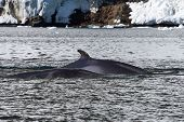 Minke Whale Two Floating Along The Antarctic Peninsula