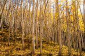 Aspen Trees In Sunlight