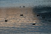 Flock Of Silhouetted Ducks Swimming In Lake After Sunset
