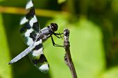 Dragonfly Perched On End Of Twig