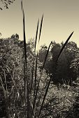 Giant reeds silhouetted in morning light B&W