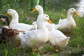 Group of domestic geese, outdoor