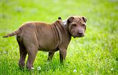 Adorable Shar Pei puppy