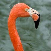 foto of long-legged-birds  - Close up of pink flamingo bird isolated - JPG
