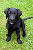 Black Retriever Puppy