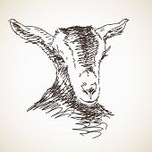 picture of baby goat  - Sketch of goat - JPG