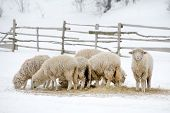 Sheep feeding in winter time