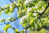 Pear-tree In Spring Season.