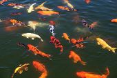 Flock of fish Koi in the pond.