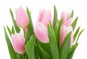 bouquet of    tulip flowers
