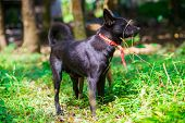 Black Native Thai Dog On Green Grass