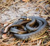 picture of venomous animals  - Grass Snake Natrix natrix adder head raising defensiveness in forest early spring - JPG