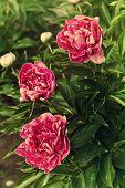 Three Dark Pink Peonies In The Garden, Vintage Toning