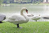 Goose In Park