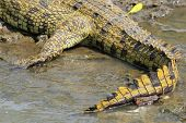 Tail Of A Crocodile Near The Water