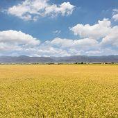 Landscape of paddy farm under blue sky in Hualien, Taiwan, Asia.