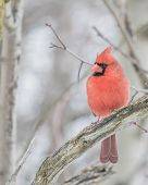 picture of cardinal-bird  - A Male Cardinal perched on a tree branch - JPG
